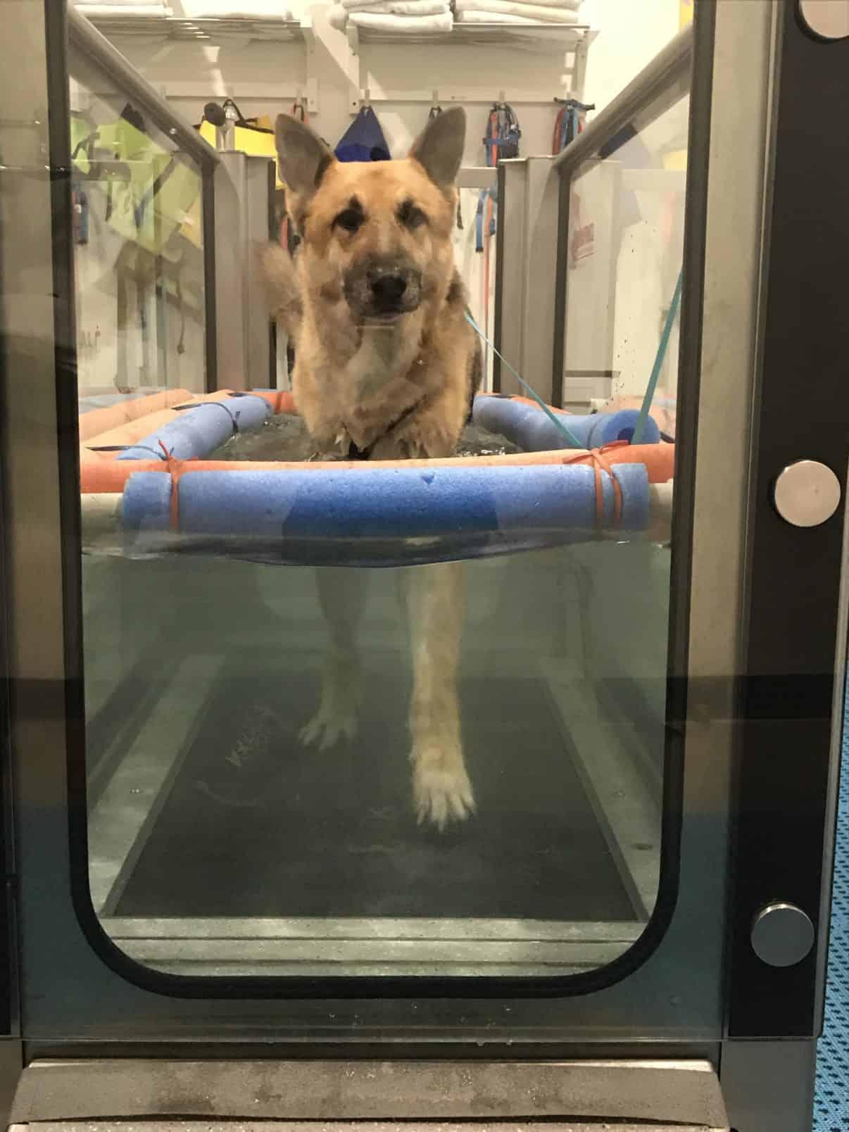 german shepherd dog walking in an underwater treadmill